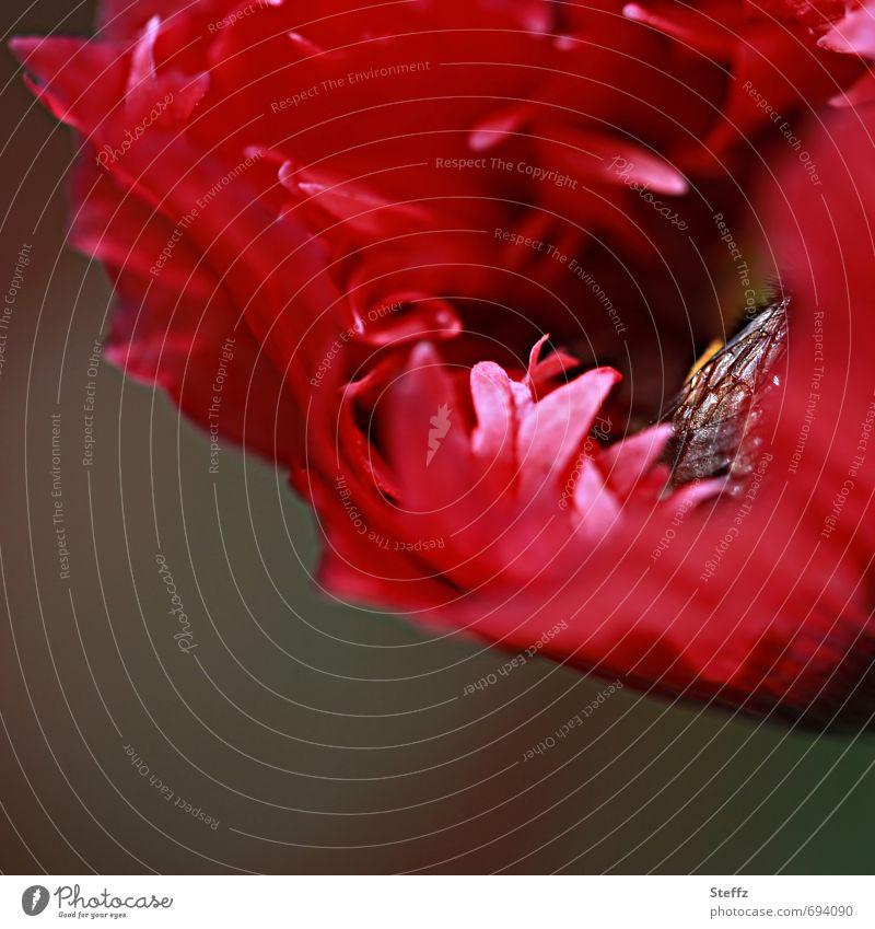 Innenleben - eine Biene eingehüllt und geborgen in einer Mohnblüte Wespe heimisch heimische Wildpflanze heimische Wildblume roter Mohn Klatschmohn