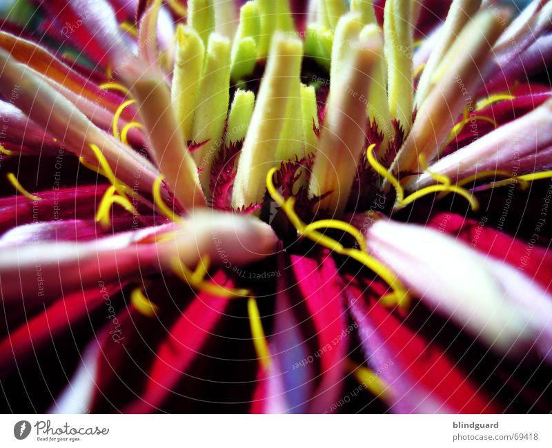 Warten auf Entfaltung schön Blume rot Sommer gelb Leben Garten hell Wachstum nah China Blühend vertikal horizontal Blütenblatt