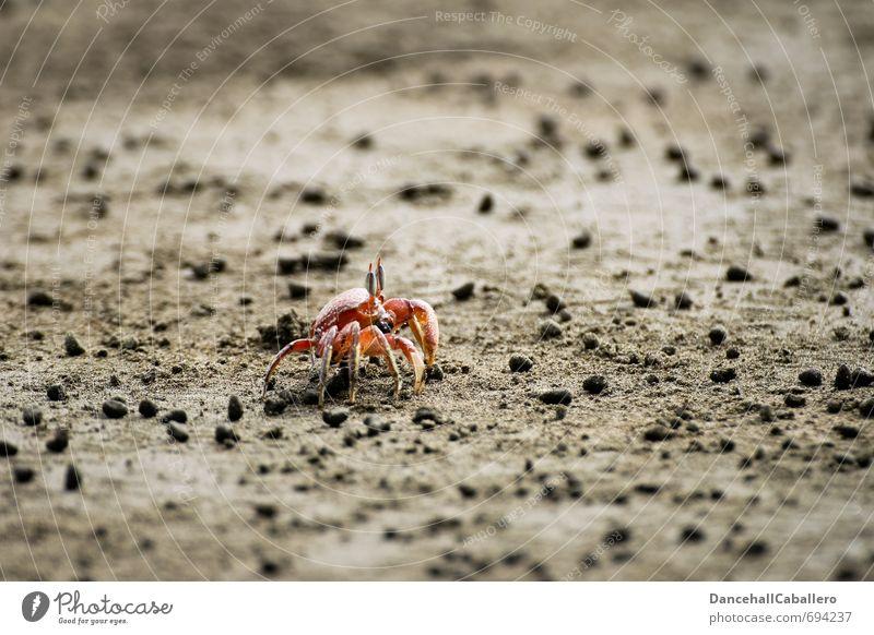 Einzelgänger l Strandspaziergang Ferien & Urlaub & Reisen Meer Sand Küste Tier Krabbe Krustentier 1 maritim rot Einsamkeit Natur einzeln Krebstier Schere Panzer