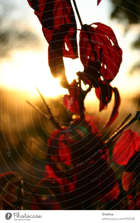 Abendstimmung (2) Blatt rot Loch Sonnenuntergang Sommer Natur August leaf leaves red holey mood