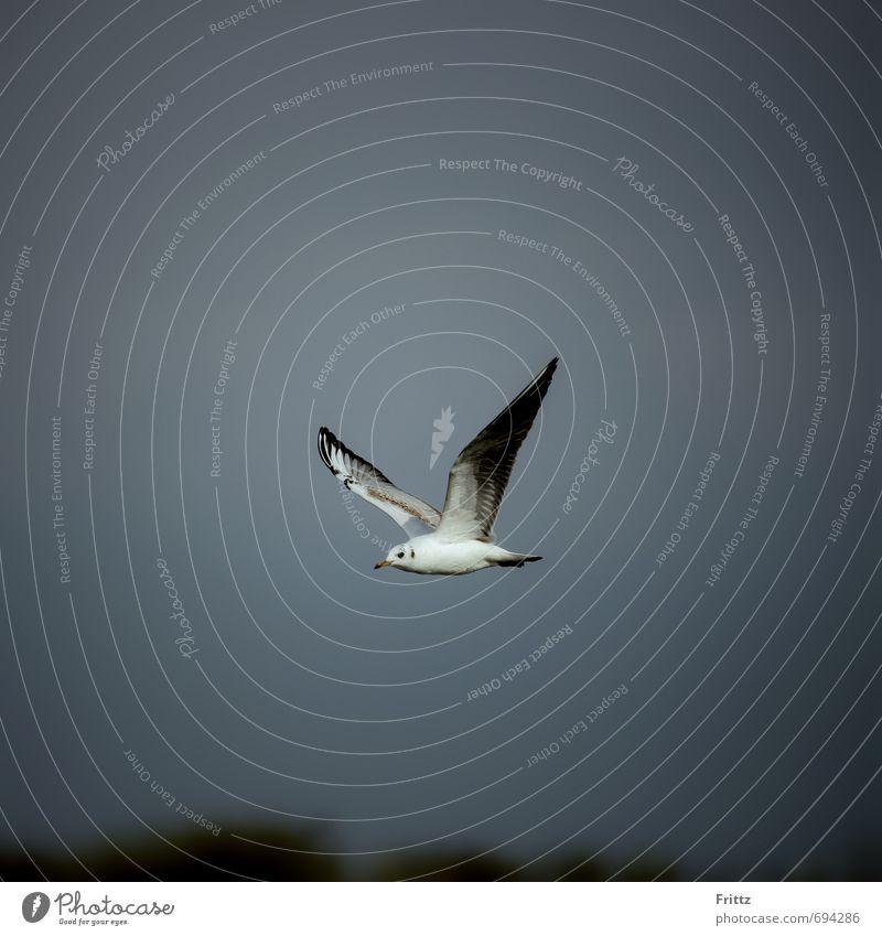 Lachmöwe Natur Tier Himmel Wildtier Vogel Flügel Möwe 1 fliegen oben grau schwarz weiß weißer Vogel fliegender Vogel Farbfoto Außenaufnahme Textfreiraum oben