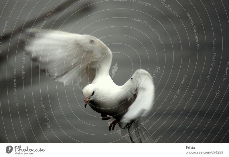.. to motion .. Natur Tier Wildtier Taube Flügel 1 Bewegung fliegen niedlich grau weiß friedlich weißer Vogel weiße Taube flügelschlagend Farbfoto Außenaufnahme