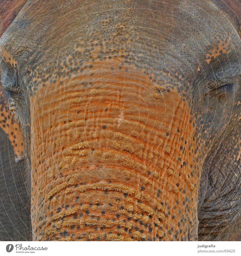 Dickhäuter ruhig Farbe Auge grau orange braun groß Tiergesicht Tierhaut Falte Asien Gelassenheit Müdigkeit Säugetier schwer