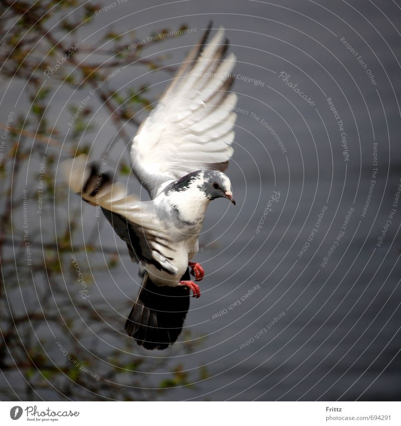 ... like an angel ... Natur Tier Wasser Wildtier Taube Flügel 1 fliegen grau rot schwarz weiß friedlich Vogel Vogelflug Farbfoto Außenaufnahme