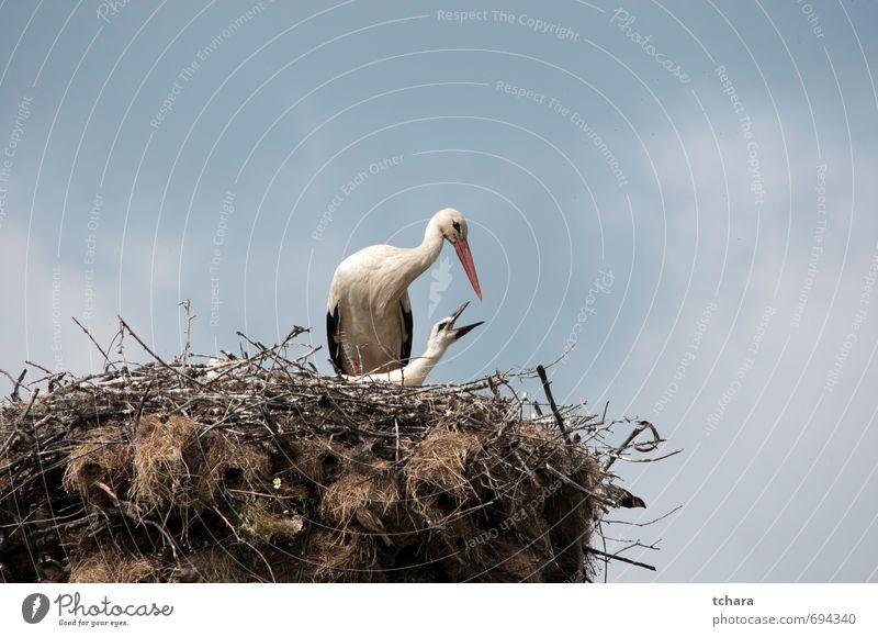 Himmel Natur blau Wolken Tier Erwachsene Tierjunges Frühling klein Essen Vogel Wildtier Mutter Sorge Schnabel Futter
