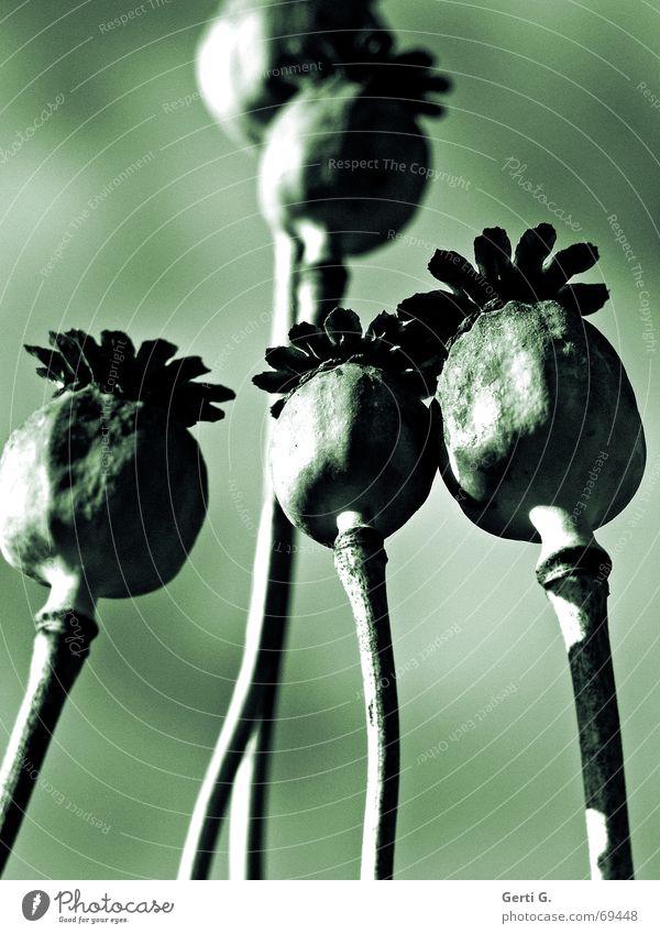 Mohnuntergang [madogrün] Natur Blume grün Pflanze Sommer Garten Stimmung Kunst dünn zart Stengel Mohn Samen harmonisch vertrocknet Raureif