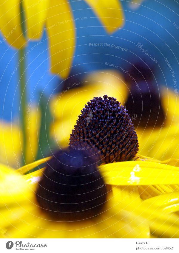 Sonnenhut open Blume Blüte gelb schwarz dunkel Stengel Knöpfe Blühend flower Natur hell blau Blütenknospen schärfeverlauf hintergrundunschärfe