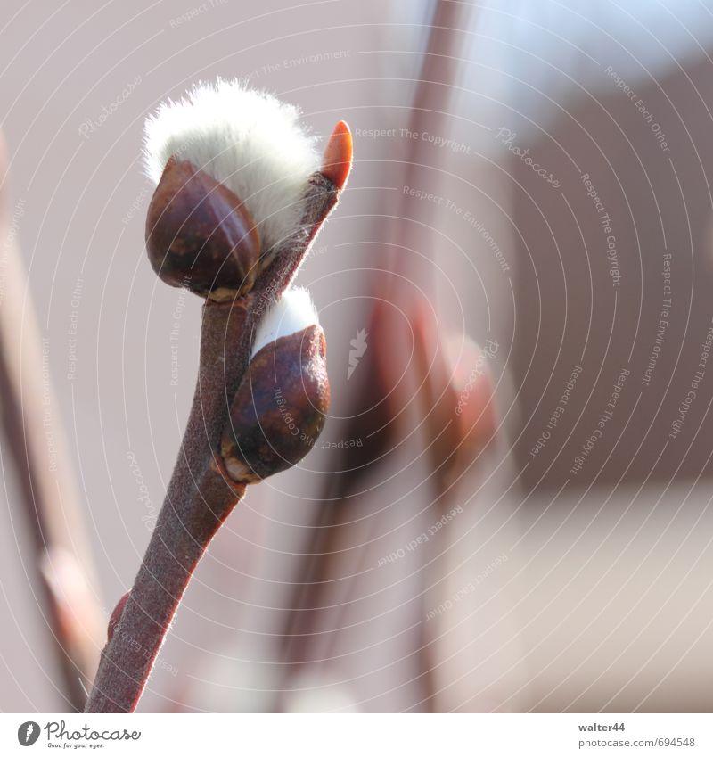 Kätzchen Natur Pflanze Frühling Schönes Wetter Sträucher Grünpflanze Garten Blühend Wachstum braun weiß Frühlingsgefühle Vorfreude Beginn Feiertag Blütenknospen