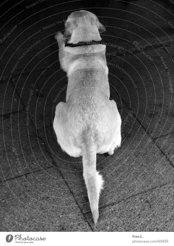 ordentlicher Hund Schwanz Ordnung Labrador Nervosität Asphalt genervt Tier gehorchen Säugetier Langeweile Gastronomie liegen warten Linie Rücken akkurat