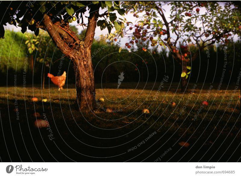 apfelbaum alt Sommer Baum Tier Wiese Garten Stimmung Idylle analog Nutztier Nutzpflanze Haushuhn Hecke Fallobst