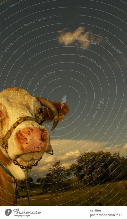 Edith sagt: KEIN STIERKAMPF Traurigkeit Trauer Kuh Säugetier Horn Solidarität