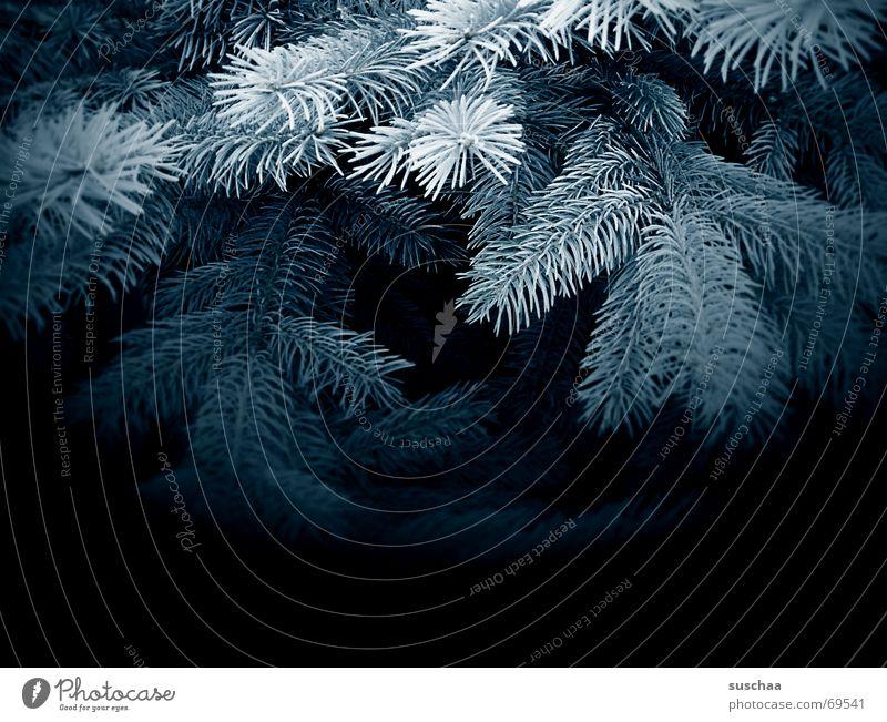im dunklen, blauen tannenwald blau dunkel Tanne Nadelwald Tannenzweig