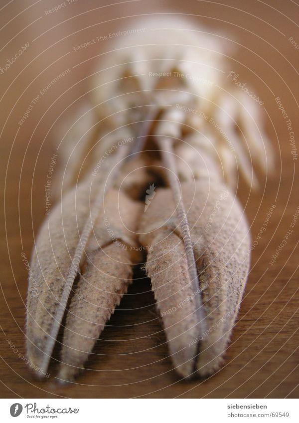 Krebs Wasser Tier Elektrizität Fluss Lebewesen Bach Hülle gepanzert Krebstier Unterwasseraufnahme häuten Zoologie Krustentier Flußkrebs