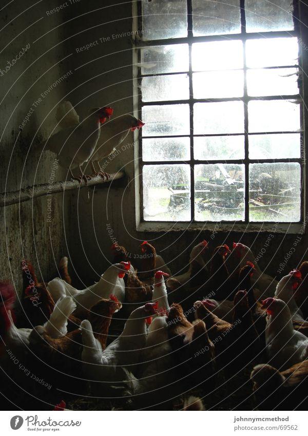 Aufgeschreckte Hühnerbande dreckig Bauernhof Geruch Übelriechend