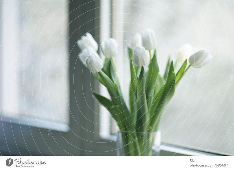 tulpen gehen immer schön weiß Blume Blatt Fenster Blüte hell Wohnung Raum Häusliches Leben Dekoration & Verzierung Geburtstag Lebensfreude Geschenk Blühend