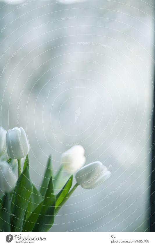 tulpen gehen immer Häusliches Leben Wohnung Dekoration & Verzierung Raum Blume Tulpe Blatt Blüte Fenster Blühend hell schön weiß Lebensfreude Frühlingsgefühle