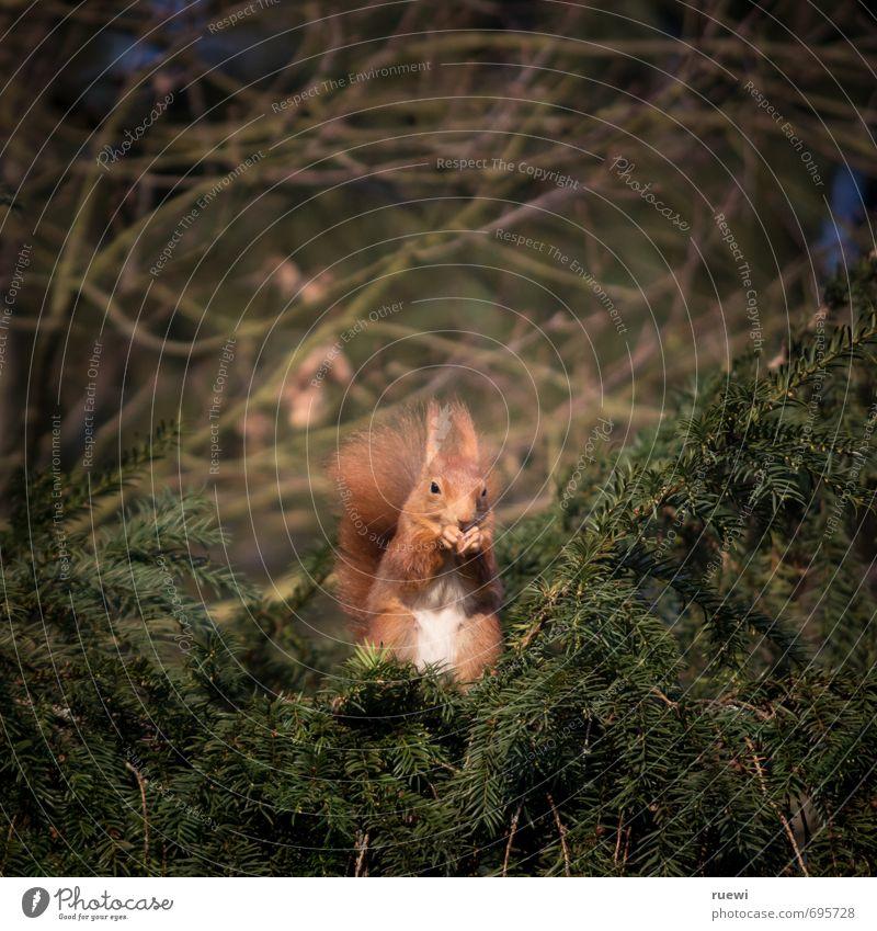 Hämisches Hörnchen Natur grün Baum rot Tier Umwelt lustig Holz Essen braun Garten Park sitzen Wildtier warten hoch