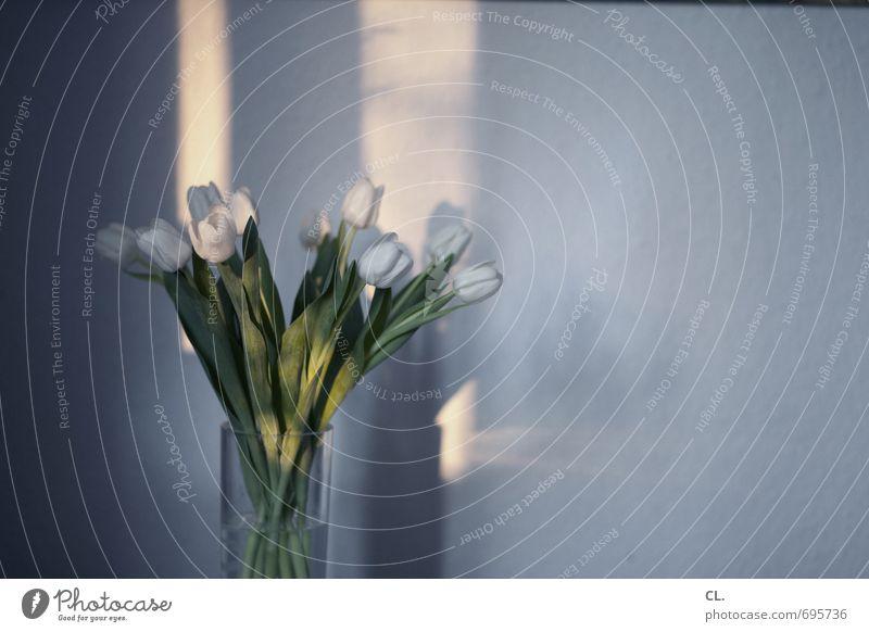 tulpen Häusliches Leben Wohnung Dekoration & Verzierung Raum Sonnenlicht Schönes Wetter Blume Tulpe Blatt Blüte Blühend schön weiß Wand Blumenvase Blumenstrauß