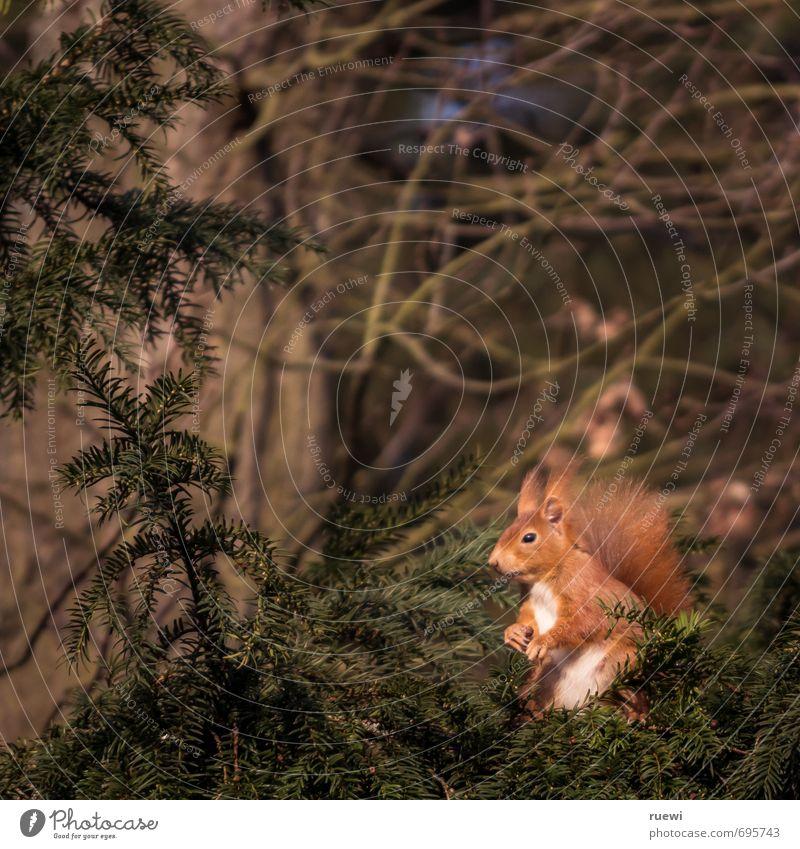 Harrendes Hörnchen Umwelt Natur Tier Frühling Sommer Baum Wildtier Eichhörnchen 1 Holz beobachten sitzen stehen warten klein Neugier niedlich braun grün rot