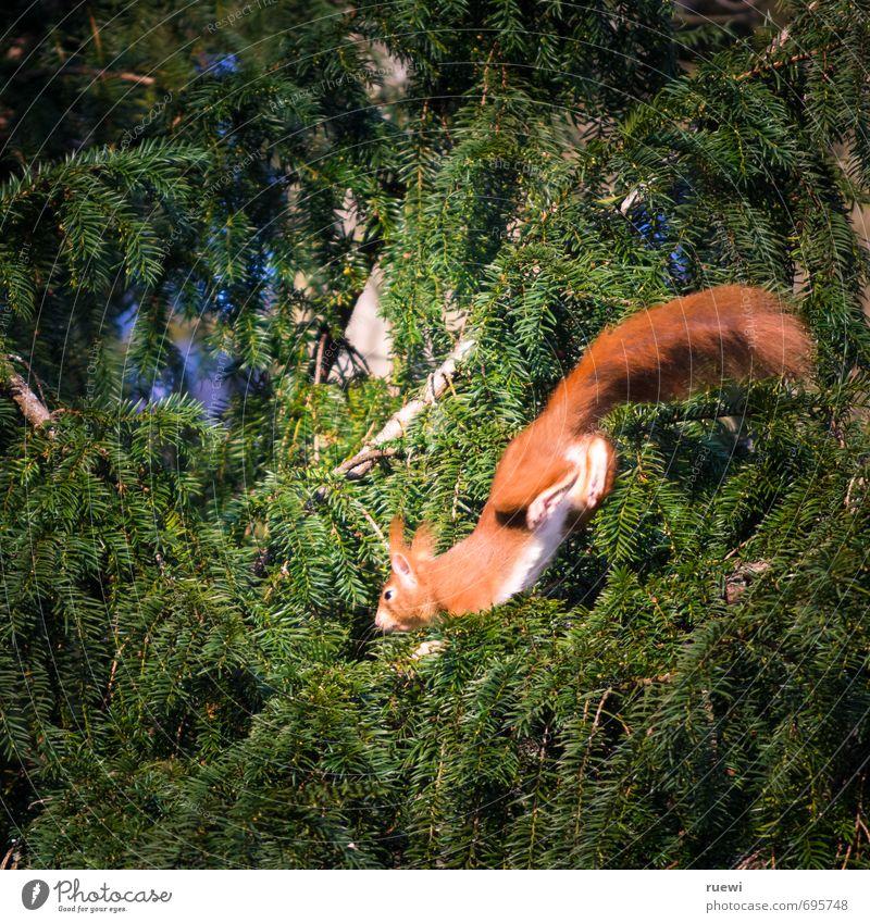 Hüpfendes Hörnchen Umwelt Natur Tier Frühling Sommer Baum Grünpflanze Garten Park Wildtier Eichhörnchen 1 Holz fliegen rennen springen klein niedlich oben braun