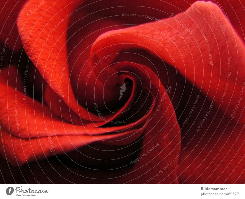 Rose Blume rot Blüte Rose Romantik Makroaufnahme Valentinstag