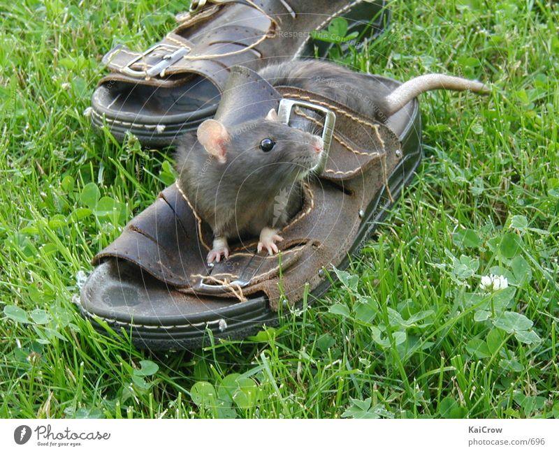 Ratte Trinity Maus Säugetier