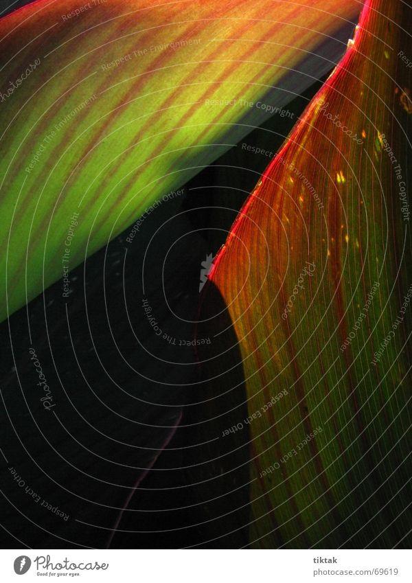 burning with love Pflanze grün rot Streifen Blume Blatt Botanik Licht dunkel Gegenteil glühen brennen Beleuchtung Linie Natur hell