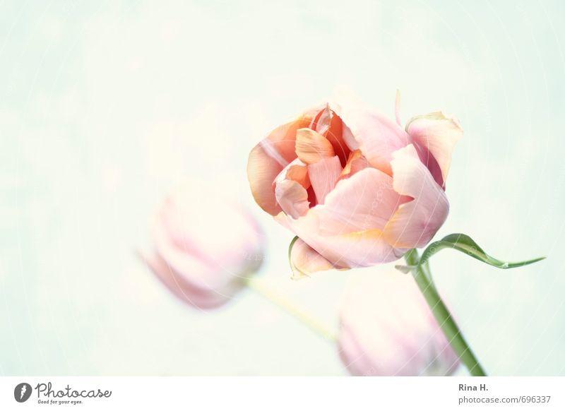 Creamy Blume Kunst rosa ästhetisch Blühend Stengel Tulpe Pastellton Schwache Tiefenschärfe Farbe