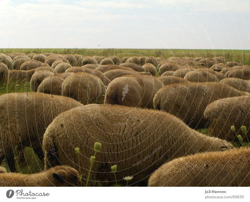 Rücken, die entzücken grün Tier Ferne Wiese Gras braun mehrere Rasen Tiergruppe weich Dorf Fell Landwirtschaft Amerika Weide