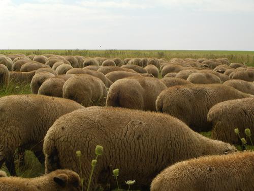 Rücken, die entzücken Schaf Schafherde Bock Lamm Dorf Schäfer Fressen Rasenmäher weich Uniform mehrere Starkbier Weide Schafsbock Ziegen Grasland Tier