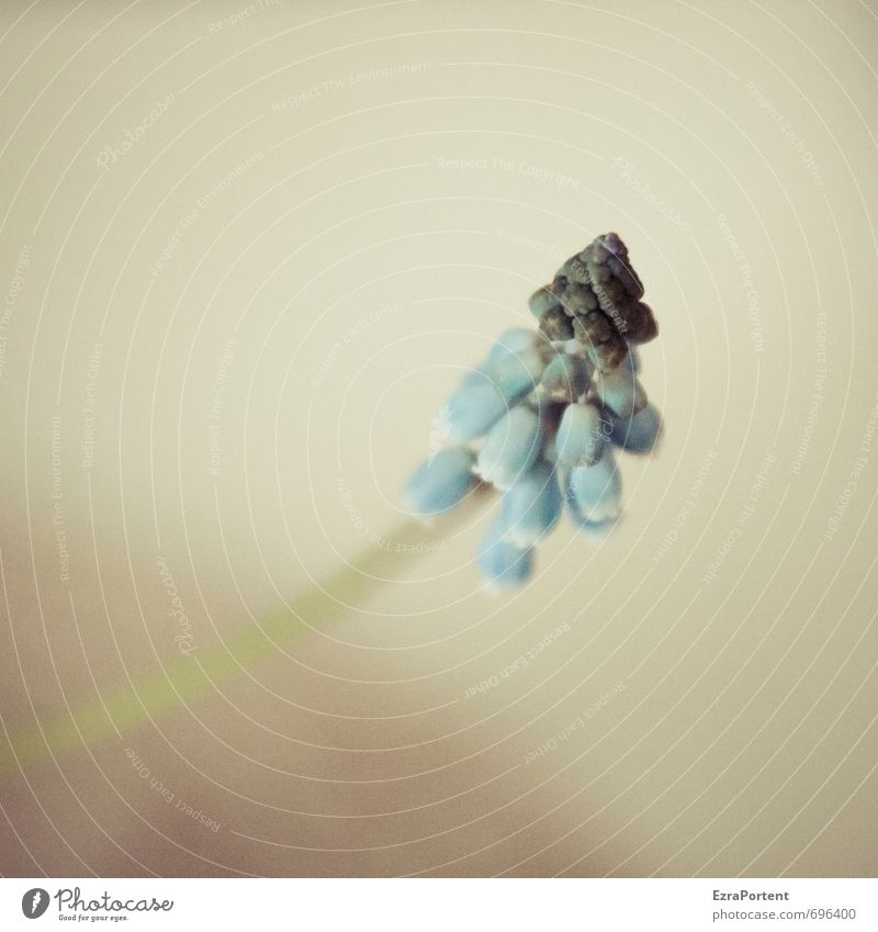 Muscari botryoides Umwelt Natur Pflanze Frühling Blume Blüte Garten ästhetisch Duft natürlich blau braun Traubenhyazinthe Hyazinthe Blühend schön zart Farbfoto