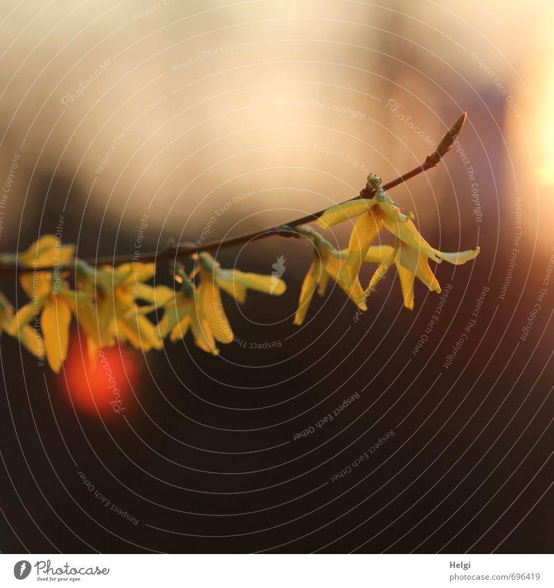 Frühlingsabend... Umwelt Natur Pflanze Schönes Wetter Sträucher Blüte Zweig Forsythienblüte Garten Blühend hängen leuchten Wachstum ästhetisch außergewöhnlich