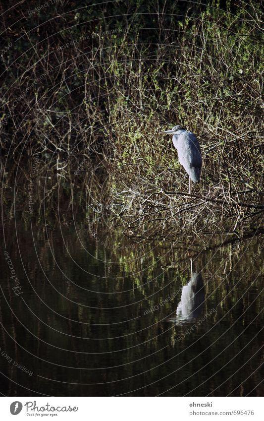 Wächter des Nordens Natur ruhig Tier Vogel Sträucher Wildtier Seeufer geduldig Reiher Graureiher