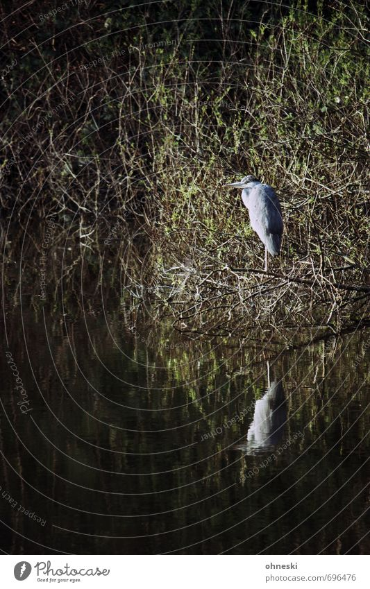 Wächter des Nordens Tier Sträucher Seeufer Wildtier Vogel Reiher Graureiher 1 geduldig Natur ruhig Farbfoto Außenaufnahme Textfreiraum links Textfreiraum oben