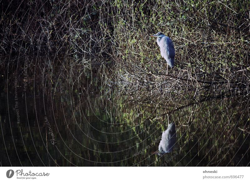 Abwarten Sträucher Seeufer Tier Wildtier Vogel Reiher Graureiher 1 Blick stehen Natur ruhig Farbfoto Gedeckte Farben Außenaufnahme Textfreiraum links
