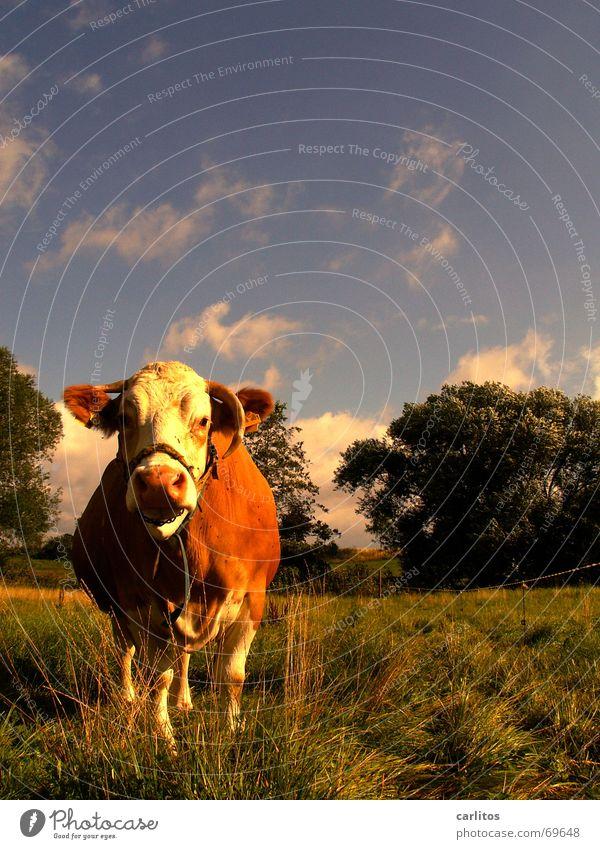 Edith - die Daily Kuh-soap Tier Kuh dumm klug Rind Steak Würstchen Schlacht Schlachthof Milchquote