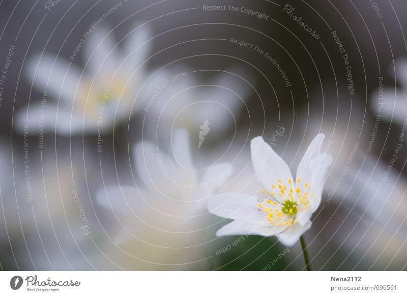 Gebleacht? Umwelt Natur Pflanze Erde Frühling Blume Feld Wald weiß Buschwindröschen Waldboden Waldblume Rose Farbfoto Außenaufnahme Nahaufnahme Detailaufnahme