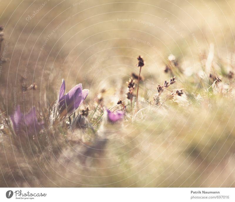 Kuhschelle (Pulsatilla vulgaris) Natur Pflanze Landschaft Umwelt Wiese Frühling Gras Blüte natürlich außergewöhnlich wild ästhetisch Schönes Wetter bedrohlich