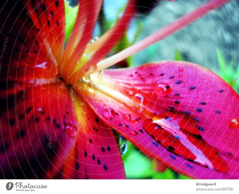 Feuer und Wasser [1] blau rot Freude Sommer Blume gelb Erholung Blüte Regen Kraft nass Brand Wassertropfen leuchten Blühend