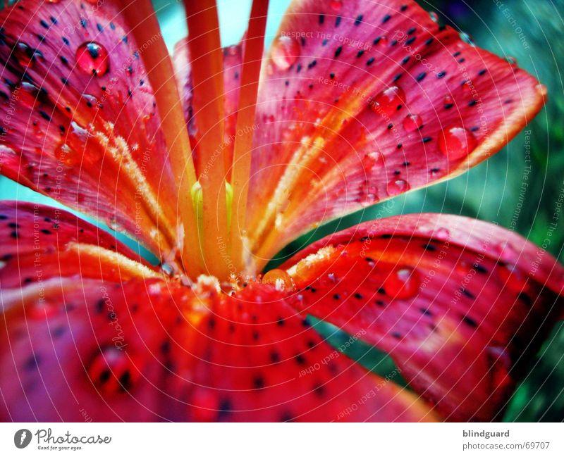 Feuer und Wasser [2] Unschärfe Tiefenschärfe Blume Blüte rot gelb Sommer Erholung Makroaufnahme Kraft strahlend mehrfarbig nass Wassertropfen feucht Regen