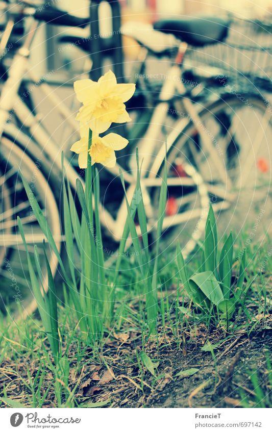 Auf nach draußen! Freizeit & Hobby Sightseeing Fahrradtour Fahrradfahren Frühling Schönes Wetter Blume Narzissen Park Stadt Blühend Duft entdecken