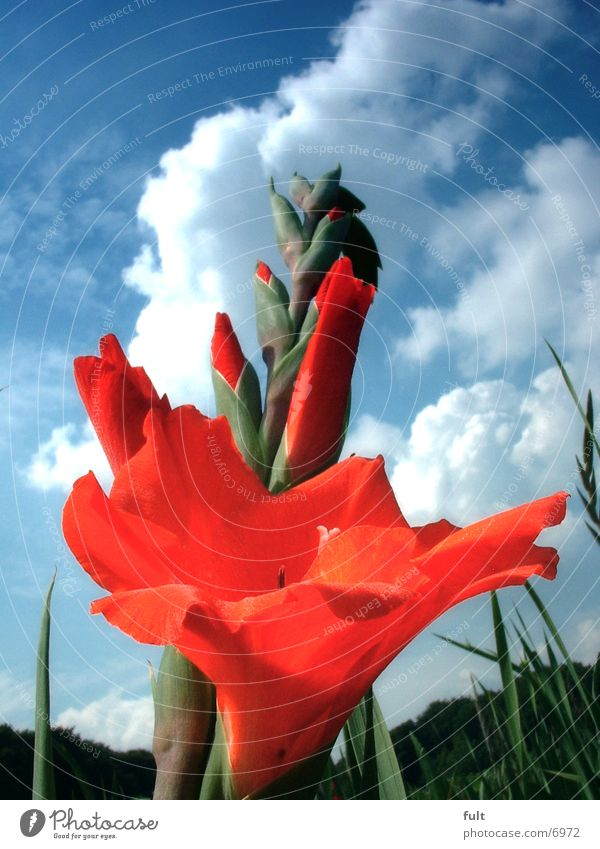 Blume Himmel rot Stengel