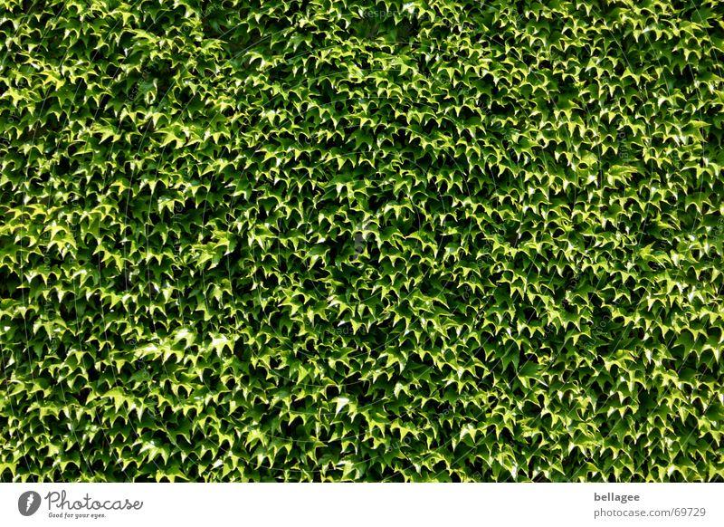 efeu/weinwand Natur grün Blatt Wand Mauer mehrere Wein viele Glätte Hecke Efeu