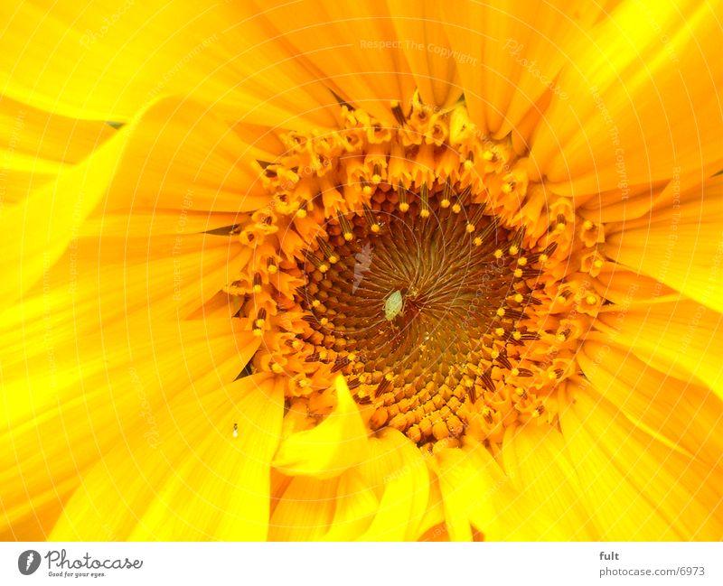 sonnenblume Pflanze gelb Sonnenblume
