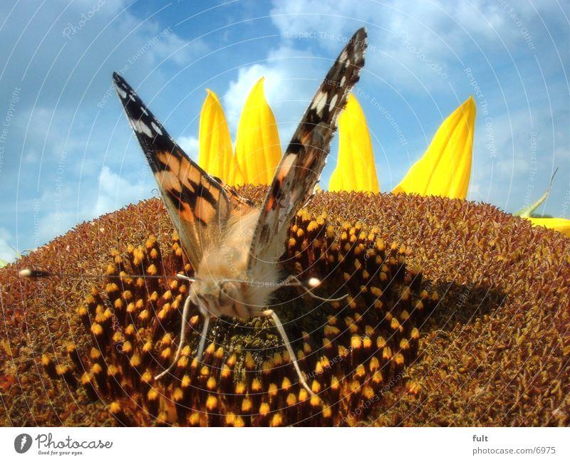 schmetterling Schmetterling Sonnenblume fiech