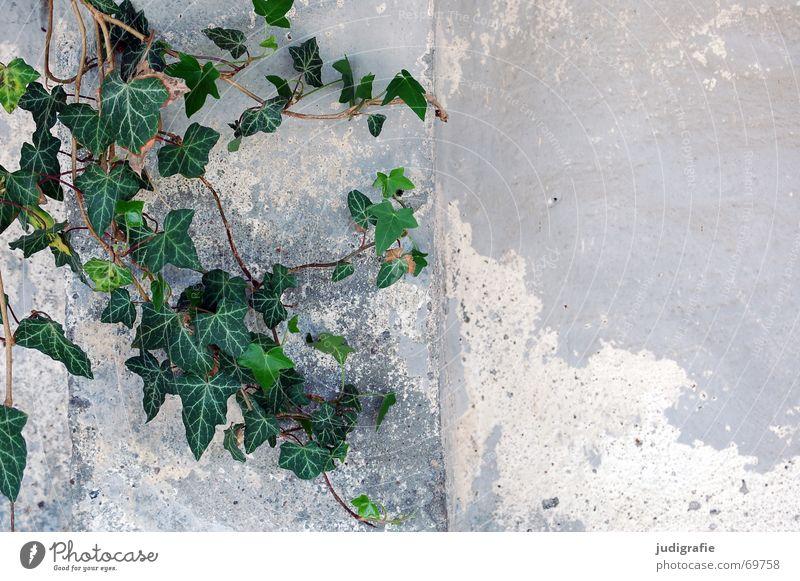 Efeu Pflanze Kletterpflanzen Blatt grün Wand Mauer Putz Romantik Araliengwächs Immergrüne Pflanzen Farbe alt