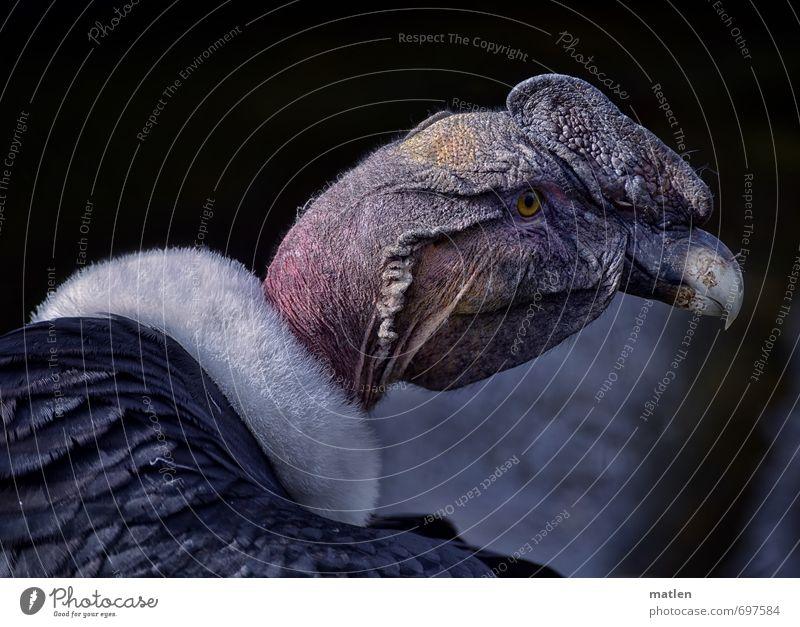 dignified weiß Tier grau rosa Vogel Tiergesicht Geier