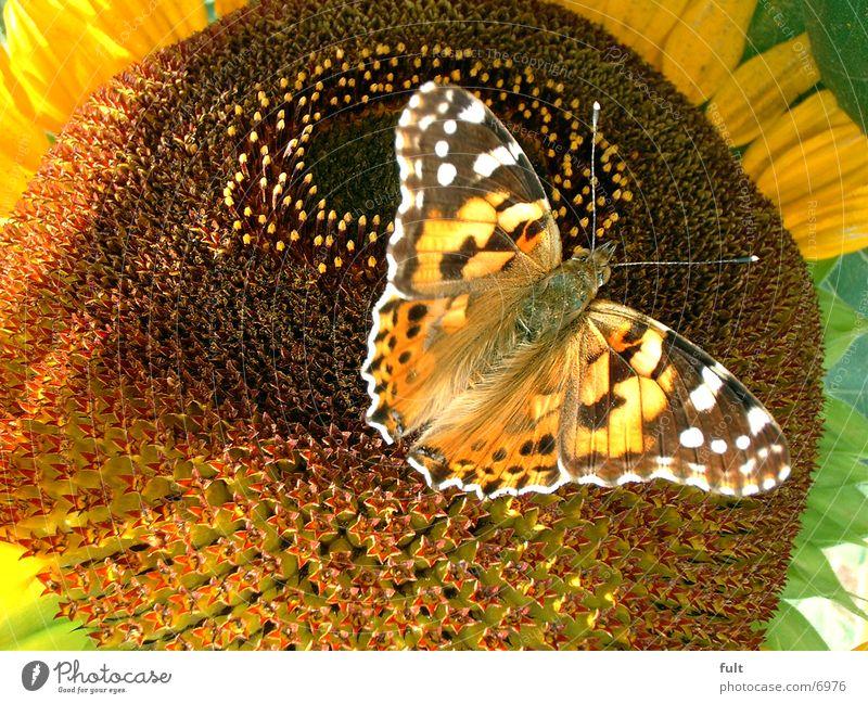 schmetterling Schmetterling Sonnenblume