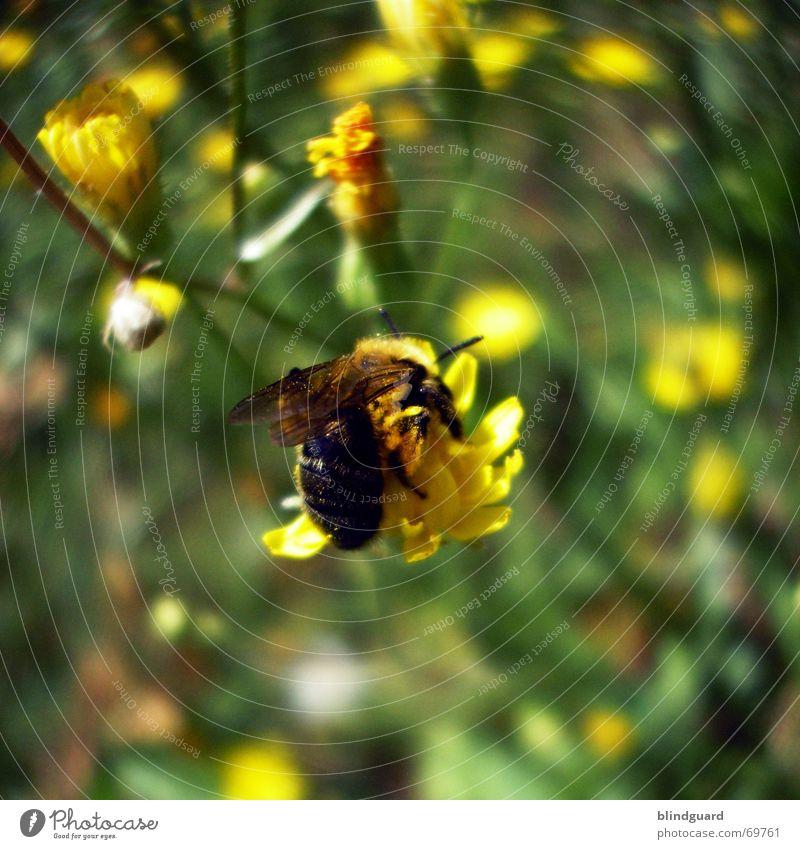 Von Bienchen und Blümchen Biene Blume bestäuben Sammlung Honig gelb fleißig Sommer Feld Blüte Gras Sträucher Wiese Samen besamen Appetit & Hunger Pollen Polen