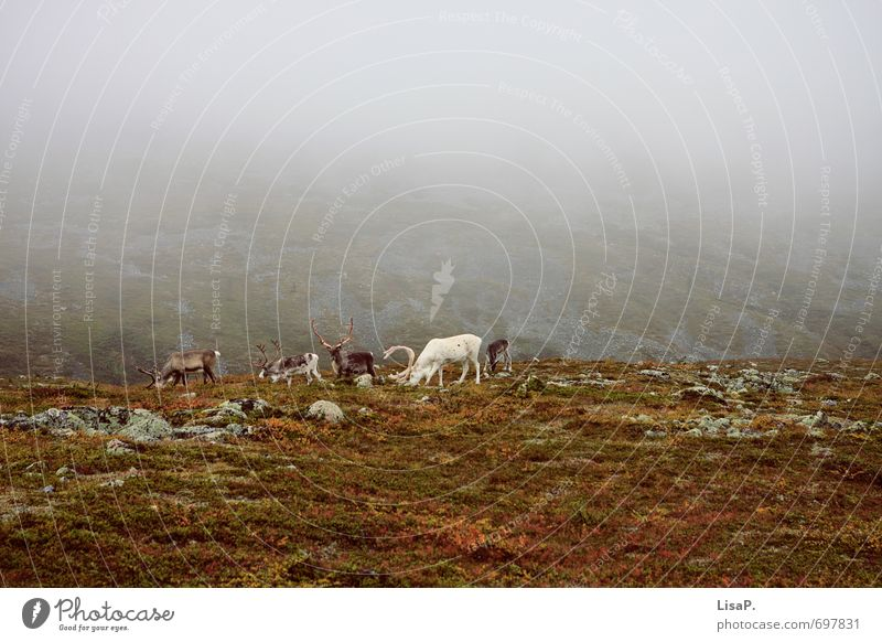 Hallo weißer Rudi! Natur Landschaft Tier Umwelt Berge u. Gebirge Herbst Gras Erde Nebel wandern Europa Tiergruppe Fressen Moos Horn herbstlich